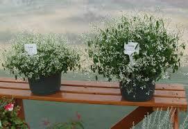 Baby S Breath Flower Baby U0027s Breath Euphorbia A Texan Plant At Heart Agrilife