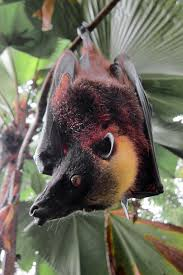 As Blind As A Bat Meaning Giant Golden Crowned Flying Fox Wikipedia