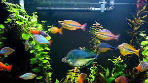 australian native aquatic plants 120 gallon rainbow fish planted aquarium youtube
