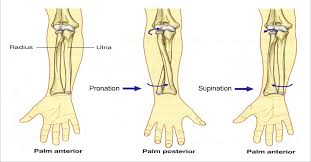 Picture Of Anatomical Position Ulna And Radius Anatomical Position Png 2242 1171 Human