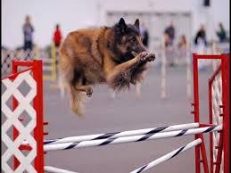 belgian shepherd 4 types belgian tervuren dog breed top 10 amazing facts about belgian