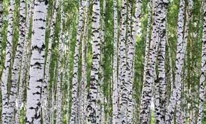birch tree wall paper mural wallpaper u0026 border wallpaper