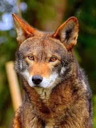 Louisiana wild animals images 365 best wild animals in texas images wild animals jpg