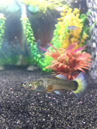 female guppy pregnant or not 266340