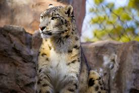 como zoo welcomes two new snow leopards u2013 twin cities