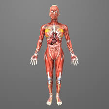 Interactive 3d Anatomy 3d Picture Of Human Body Organs Interactive 3d Internal Organs