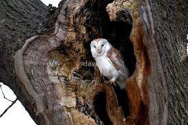 barn owl in tree hollow by davejw redbubble