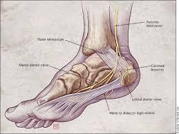Calcaneus Anatomy Diagnosing Heel Pain In Adults American Family Physician