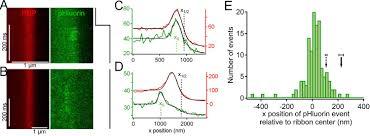 nanoscale dynamics of synaptic vesicle trafficking and fusion at