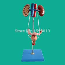 Female Urinary System Anatomy Aliexpress Com Buy Human Female Urinary System Model Female