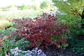 arbuste feuillage pourpre persistant place des jardins janvier 2011
