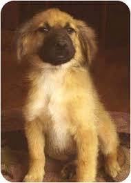 belgian sheepdog puppies for sale in california jamie adopted puppy vista ca belgian shepherd rhodesian