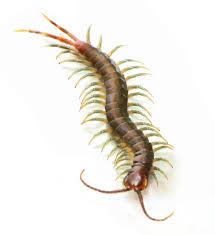 scorpions u0026 invertebrates archives strictly reptiles
