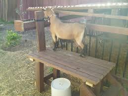 raising dairy goats in the city u2013 garden pool