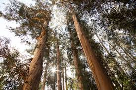 environmental groups clash over east bay eucalyptus richmond