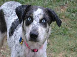 bluetick coonhound pitbull mix view ad bluetick coonhound catahoula leopard dog mix dog for