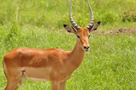free stock photo of animal antlers deer