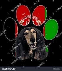 afghan hound kennel in australia afghan hound dog portrait background afghanistan stock photo