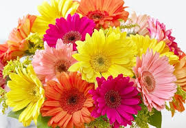 history and meaning of gerbera daisies proflowers