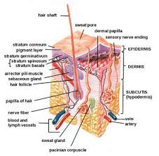 Human Anatomy Integumentary System Functions Of The Integumentary System Boundless Anatomy And