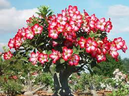 adenium ornamental plants ornamental plants kolkata dayamayee