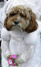 dog wedding dress awesome dog wedding dress 74 about remodel dress with dog