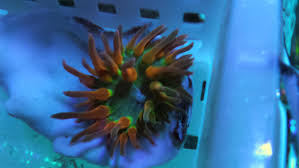 rainbow quad color bubble tip anemone reef2reef saltwater and