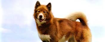 american eskimo dog brown canadian eskimo dog breed info characteristics personality