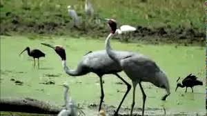 crane bird call bird song youtube