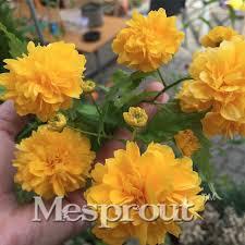 edible flowers for sale sale 50pcs garden flower seeds kerria japonica sophora japonica