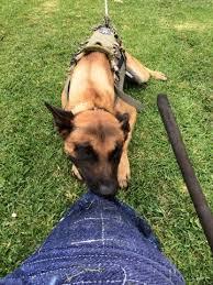 belgian shepherd killed california police officers honor k 9 killed in the line of duty