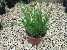 erba cipollina in vaso vendita pianta aromatica erba cipollina allium schoenoprasum in vaso