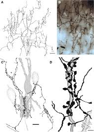 chandelier cells frontiers chandelier and interfascicular neurons in the