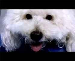 bichon frise 17 years old 6 year old bichon frise suffers bump under tail the internet vet