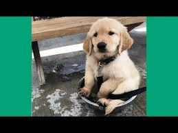 21 Of The Best Grumpy - grumpy dog golden retriever puppies funny compilation 21 best of
