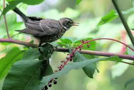 backyards prove surprising havens for native birds esa100