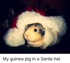 Shaved Guinea Pig Meme - my guinea pig in a santa hat guinea pig meme on sizzle