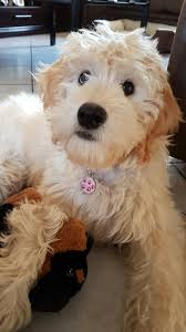 Gingerdoodle by Goldendoodles Puppies Available From South African Breeder