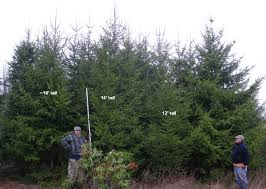 12 foot trees for sale 59 images sale gorgeous high quality