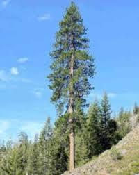 montana state tree ponderosa pine state trees montana