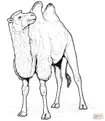 camel coloring pages 5 arterey info