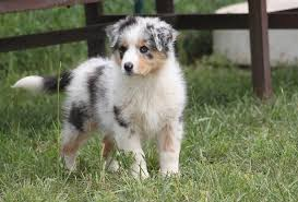 australian shepherd pomeranian mix australian shepherd puppies blue merle wallpaper