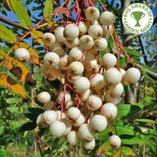 Trees With White Flowers Sorbus Cashmiriana Buy Kashmir Rowan Trees With White Berries