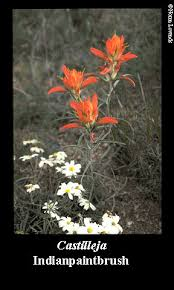 indian paintbrush flower nmsu low water use landscape plants for the southwest indian
