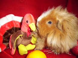 how to wish a happy thanksgiving day undercover guinea pigs happy thanksgiving day