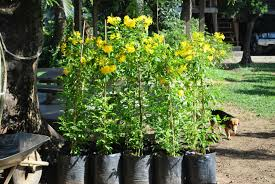 cainta plant nursery for your tree planting projects