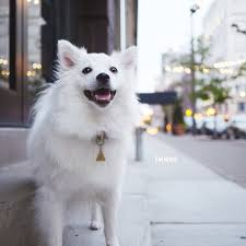 american eskimo dog what do they eat handsomedogs kokoro the american eskimo dog emwng com