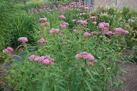 native plant garden july in the perennial garden u2013 gardening in tune with nature bdn