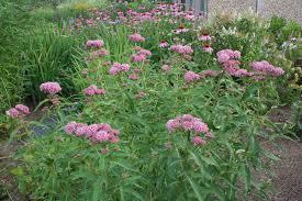native plant gardens july in the perennial garden u2013 gardening in tune with nature bdn