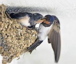 Barn Swallow Nest Pictures Pin By Stacy L On Bird Nests Pinterest Barn Swallow Swallows